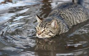 Picture cat, water, swim, swimmer