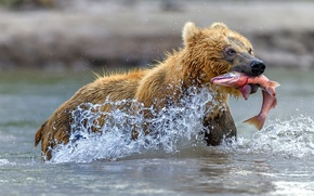 Wallpaper water, squirt, bear, catch, red fish