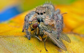 Picture macro, yellow, fly, background, spider, predator, leaf, insect, jumper, meal, the Hoppy