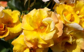 Picture summer, flowers, flowering, yellow roses
