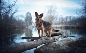 Picture nature, lake, dog