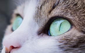 Picture cat, eyes, look, cat