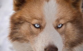 Picture dog, snow, husky, each, husky, eye, dog, eyes