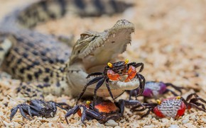 Picture together, crocodile, crabs