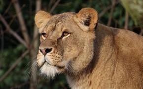 Picture Cat, Lioness, Animal, Wild