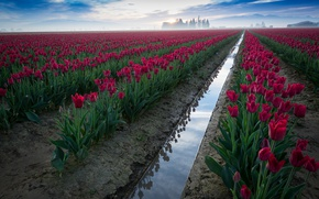 Picture nature, fog, tulips, plantation