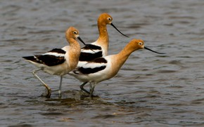 Picture water, birds, beak, American pied Avocet