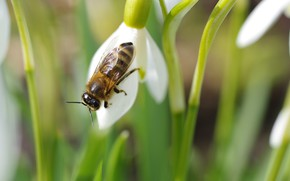 Picture flowers, insects, nature, spring, snowdrops, flowering, flora, awakening, flies, Galanthus, April