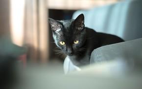 Picture eyes, cat, black, cat