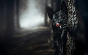 Wallpaper language, German shepherd, dog, bokeh, tree