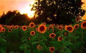 Wallpaper Sunset, Nature, Field, Sunflowers, Nature, Sunset, Field, Sunflowers