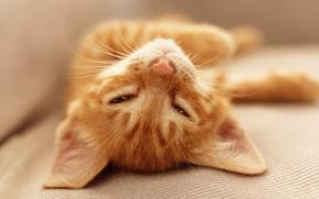 Picture kitty, face, ginger kitten