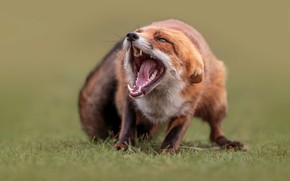 Picture grass, nature, animal, mouth, Fox, Fox