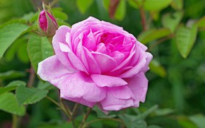 Picture Nature, Summer, Roses, Flowering