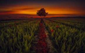 Picture field, flowers, tree, the evening