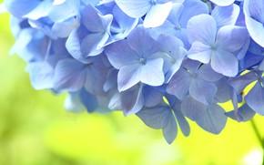Picture flowers, blue, Macro, hydrangea