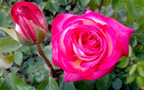 Picture pink, rose, Flowers