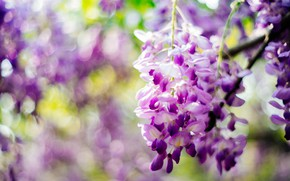 Picture purple, flowers, Wisteria