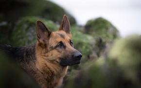 Picture face, portrait, dog, bokeh, German shepherd