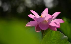 Picture flower, light, flowers, sheet, green, background, mood, pink, petals, Lotus, Lotus, bokeh, blooming