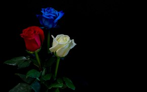 Picture leaves, roses, three, white, black background, red, buds, blue