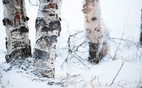 Picture winter, snow, trees, birch