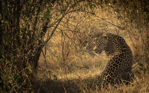 Picture light, shadow, predator, spot, leopard, Africa, color, sitting, wild cat, looks