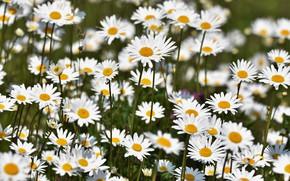 Wallpaper field, petals, chamomile
