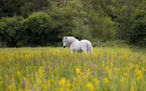 Picture flowers, horse, horse, meadow