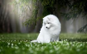 Picture nature, dog, Samoyed, Samoyed husky