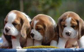 Picture puppies, trio, Beagle