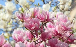 Wallpaper pink, spring, Magnolia, white
