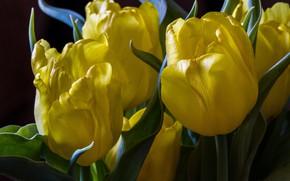 Picture macro, petals, tulips, buds, yellow tulips