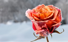 Picture winter, frost, snow, background, rose, petals, Bud, red, bokeh, closeup