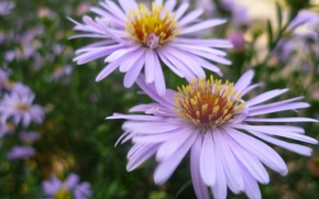 Picture Macro, Flowers, Garden, Chamomile, Belarus
