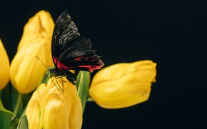 Picture butterfly, Macro, tulips