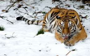 Wallpaper wild cat, snow, tiger