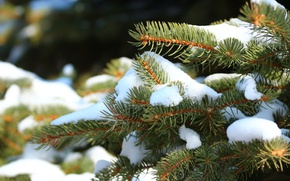 Picture snow, needles, spruce