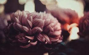 Picture petals, blur, Bud, gently, chrysanthemum