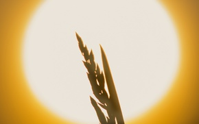 Picture the sun, sunset, plant, ear, silhouette, disk