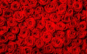 Picture flowers, background, roses, texture, red
