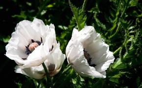 Picture macro, nature, Mac, petals