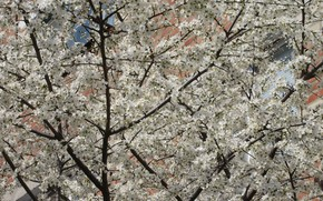 Picture white, a lot, plum, magnificently, the first flowers, spring 2018, small plum, mamala ©