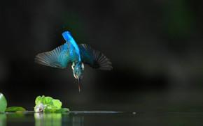 Picture water, flight, nature, Kingfisher, bird
