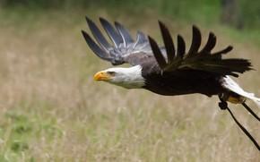 Picture flight, bird, wings, predator, beak, bald eagle