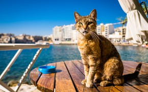 Picture cat, background, Kota