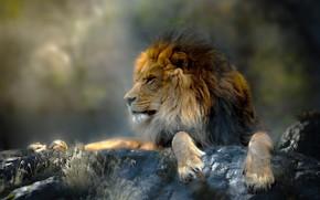 Wallpaper animal, predator, Thai Phung, grass, Leo, stones