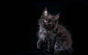 Picture Kitty, Baby, Kitty, Maine Coon