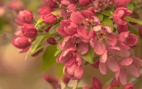 Picture nature, tree, branch, spring, Apple, flowering, flowers