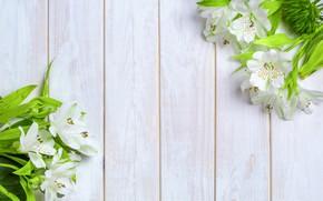 Picture Flowers, White, Background, Alstroemeria